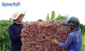 Nông dân Lý Sơn phấn khởi vì hành tím được mùa, giá ổn định