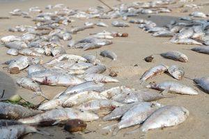 Thông tin mới nhất về hiện tượng cá chết hàng loạt tại Đà Nẵng