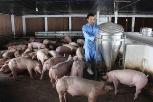 Giá heo hơi ở mức cao, lợi thế đang nằm ở người chăn nuôi