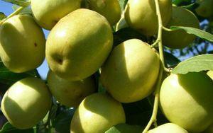 Có một loại quả sắp đến chính vụ tốt hơn cả 100 lần táo đỏ: Hãy tận dụng để làm thuốc chữa bệnh, dưỡng nhan!