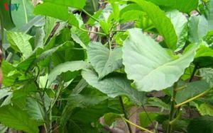 Trẻ ngộ độc do sử dụng lá lộc mại chữa táo bón
