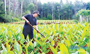 Nghệ vàng Bình Châu: Xây dựng nhãn hiệu tập thể