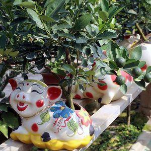 'Phát sốt' với quất bonsai trên lưng heo vàng đón Tết Kỷ Hợi 2019