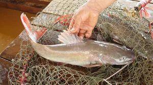 Nuôi cá sông quý hiếm đuôi đỏ như son, bán 450.000 đồng/kg