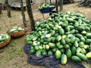 Nông sản Bình Thuận 'nước rút' cho vụ Tết