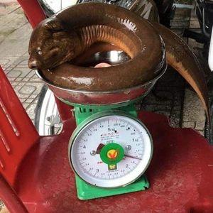 Nông dân Nghệ An bắt được con lươn nặng hơn 1,6kg
