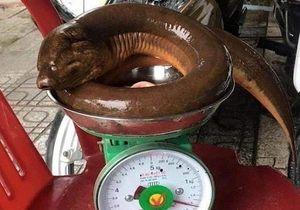 Bắt được lươn đồng 'khủng' nặng 1,6 kg ở Nghệ An