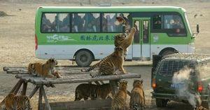 Tranh cãi xung quanh việc thương mại hóa hổ cốt ở Trung Quốc