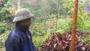 Vỏ quế chưa đến tuổi thu hoạch đã bị lấy trộm, người trồng thiệt hại