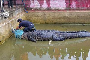 Cá sấu 'cưng' phản bội tấn công chủ đến chết
