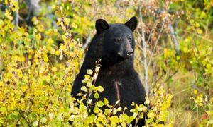 Mỹ: Bé trai 3 tuổi lạc vào rừng được gấu bảo vệ