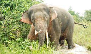Sắm thiết bị bay đối phó với đàn voi dữ ở Đồng Nai