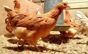 Phương pháp mới khiến gà đẻ trứng chứa thành phần chống ung thư