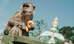 Bị chiếm rừng, 'băng đảng khỉ' ở Malaysia vào thành phố cướp đồ ăn