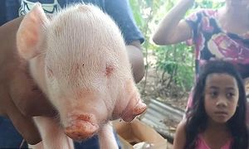 Lợn chào đời có hai đầu ba mắt gây xôn xao