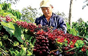 Vị ngọt cà phê cao nguyên