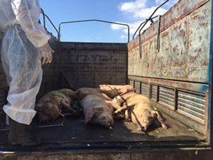 Ninh Thuận tiêu hủy đàn lợn mắc bệnh lở mồm long móng