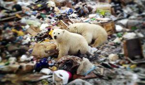 'Cuộc xâm lăng' của gấu Bắc cực