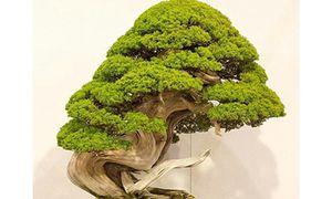 Trộm lẻn vào vườn bonsai 5.000 ha, trộm 7 cây quý gần 3 tỷ đồng