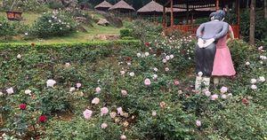 Miễn phí du khách tham quan vườn hồng lớn nhất Việt Nam tại Ba Vì