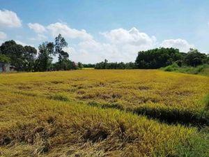 Gỡ khó cho lúa, gạo