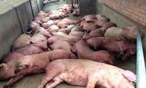 Lợn bị nhiễm dịch tả lợn châu Phi có những dấu hiệu nào?