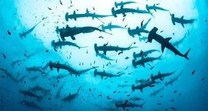 Clip: Hàng trăm con cá mập đầu búa quý hiếm xuất hiện cùng lúc