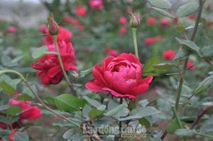 Tháng 3 sẽ diễn ra Lễ hội hoa hồng Bulgaria tại Hà Nội