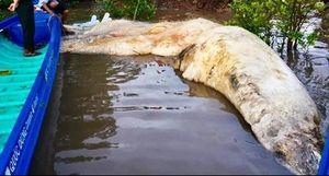 Chôn cất xác cá voi 20 tấn dạt vào vùng biển Cà Mau