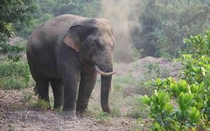 Tăng cường bảo vệ voi rừng