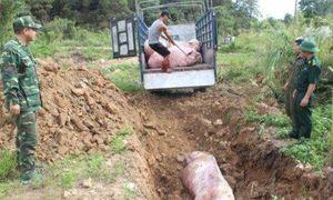 Hà Nam: Phát hiện dịch tả lợn châu Phi tại huyện Kim Bảng