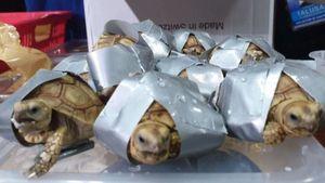 Phát hiện 4 va li chứa hơn 1.500 con rùa quý hiếm tại sân bay Philippines