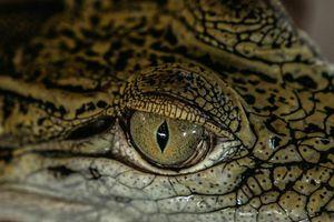 Cá sấu săn người ở Philippines - 'chúng như muốn khoe chiến tích'