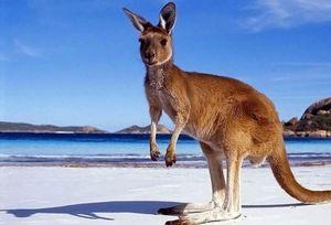 Giai thoại về nguồn gốc cái tên 'kangaroo'