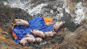 Liên tiếp xuất hiện các ổ dịch tả lợn châu Phi