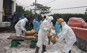 Tiêu hủy 80 con lợn tại ổ dịch Nam Định