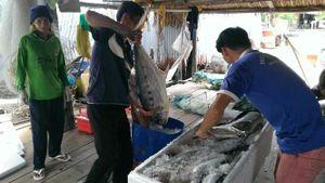Được mùa cá thu