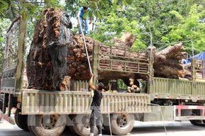 Bắt giữ vụ vận chuyển cây xoài rừng trên trăm tuổi