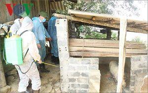 Sơn La tiêu hủy toàn bộ số lợn mắc bệnh dịch tả lợn châu Phi
