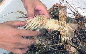 Vì sao tôm hùm ở Phú Yên chết hàng loạt?