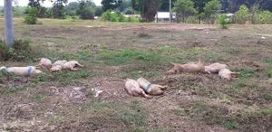 Bình Phước: Lợn chết bệnh, đã bốc mùi bị vứt ngay cạnh Quốc lộ 14