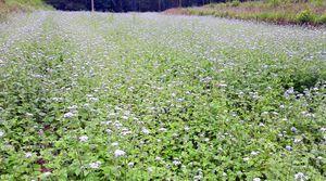Ngắm cánh đồng hoa ngũ sắc ngút ngàn ở Bình Liêu