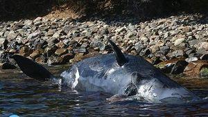Mổ xác cá nhà táng mang thai, phát hiện điều ám ảnh
