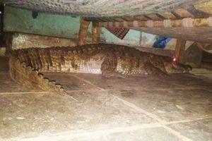 Hốt hoảng phát hiện cá sấu mang thai trốn dưới gầm giường