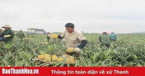 Giá dứa thấp, người trồng lao đao