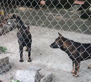 Cận cảnh đàn chó dữ cắn chết bé trai 7 tuổi ở Hưng Yên
