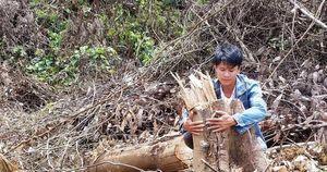 Gần 2 hecta rừng bị phá, chỉ cách kiểm lâm 500m nhưng 'không biết'?