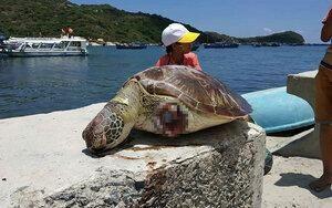 Cá thể Rùa Xanh nặng khoảng 20kg chết trôi dạt vào bờ, 2 vây trước đã bị chặt đứt