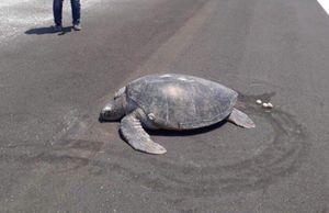 Rùa hiếm trở lại 'chốn xưa' đẻ trứng, nơi đây đã thành một đường băng