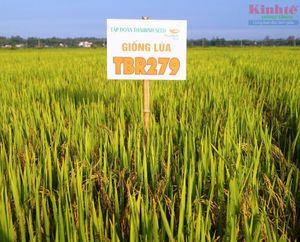 Quảng Nam: Liên kết sản xuất lúa hiệu quả cao